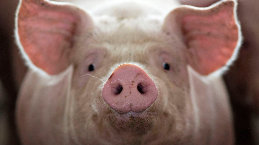 Decapitated pigs' heads are brought back to life