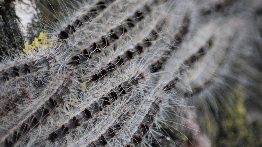 London infested with toxic caterpillar that causes skin rashes & breathing problems