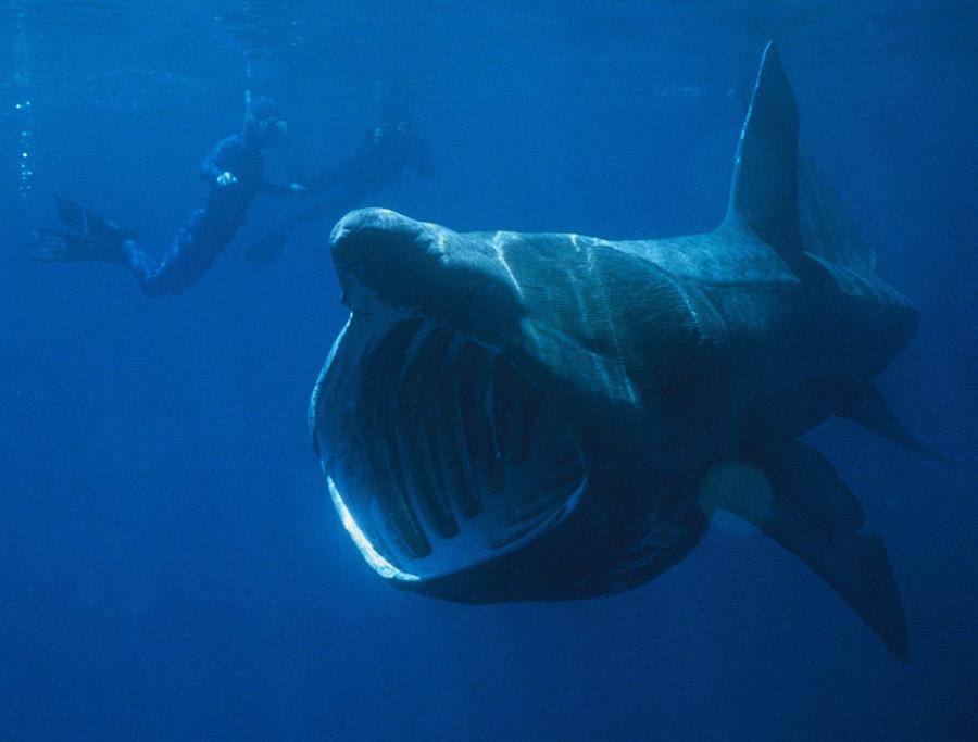 Jawsome! School of 1,400 basking sharks spotted off US North Atlantic coast