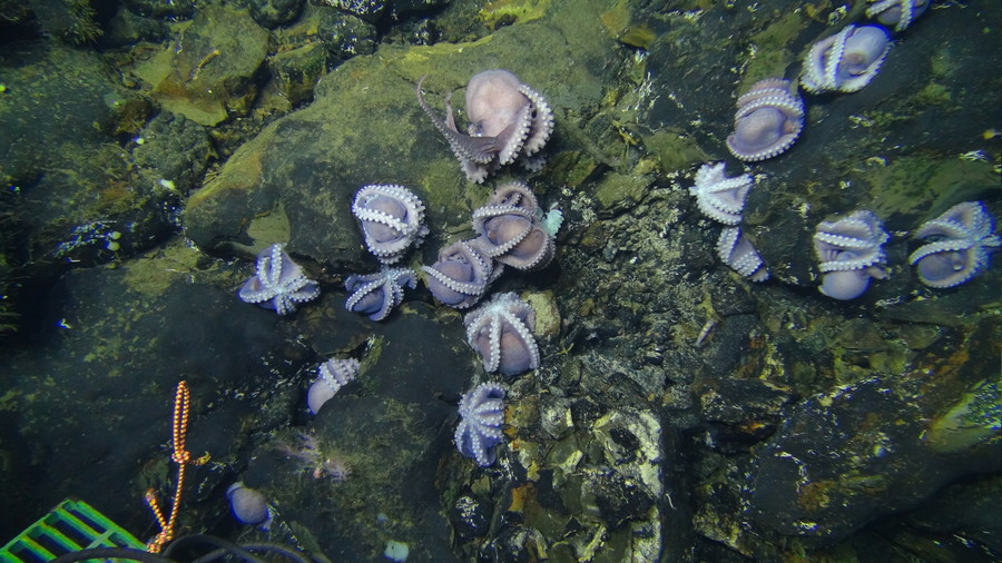 Motherload! Huge collection of female octopuses guard eggs off Costa Rican coast (PHOTOS)