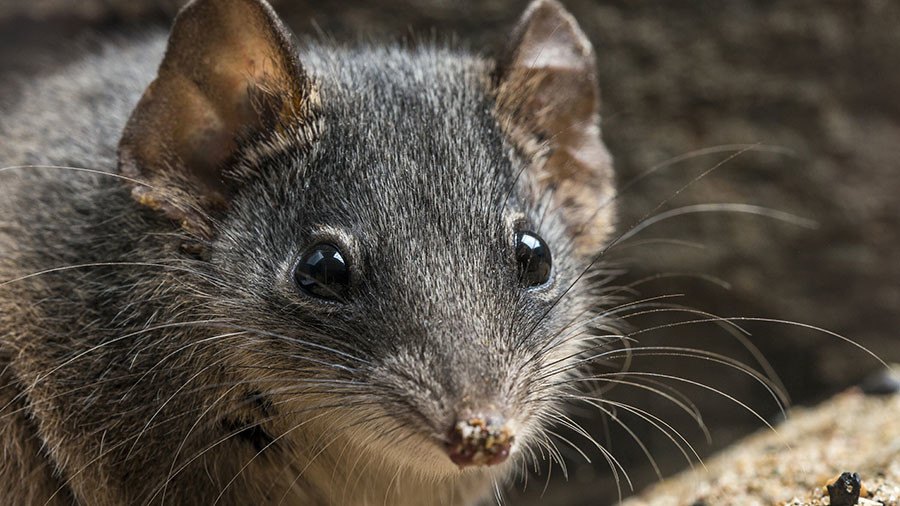 Fatal fornication: Marathon sex session marsupials added to endangered list