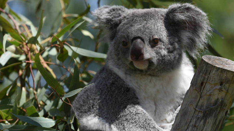 Only Down Under: Koala caught fishing on Aussie river bank (VIDEO)