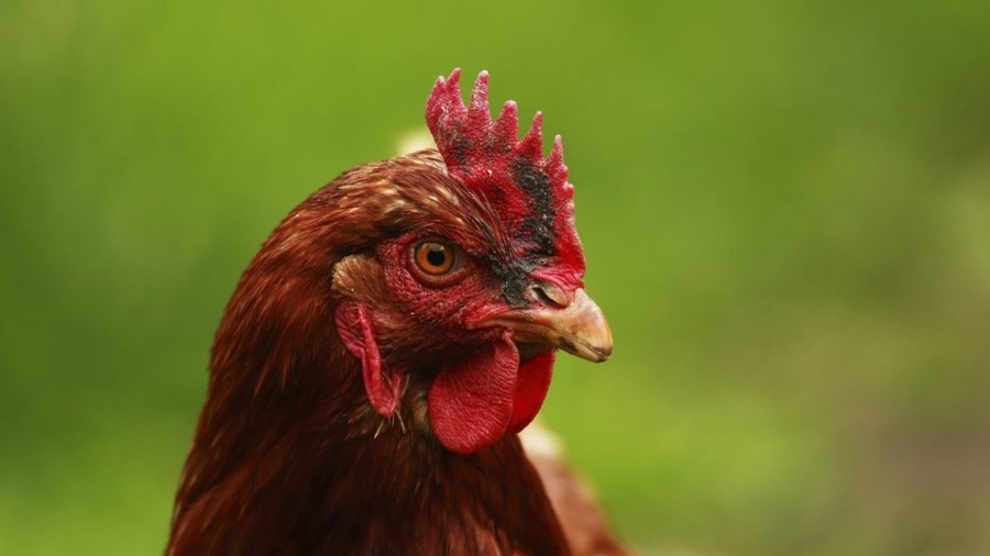 'Human' cells mixed with chicken embryos in bizarre scientific experiment