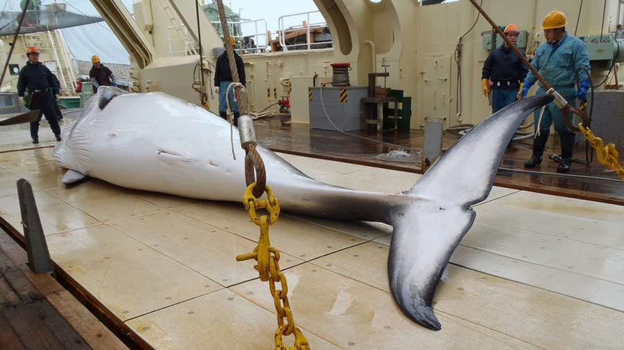 Japanese Hunters Kill 122 Pregnant Minke Whales for 'Scientific Research'
