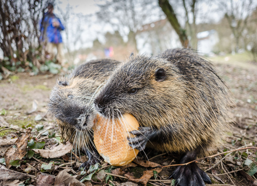 'Tastes like rabbit': Mayor suggests Italians eat giant rodents to deal with pest problem