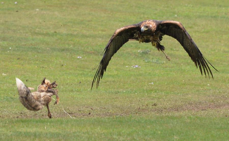 Battle of the predators: Fox & eagle in death-defying duel over rabbit prey (VIDEO, PHOTOS)