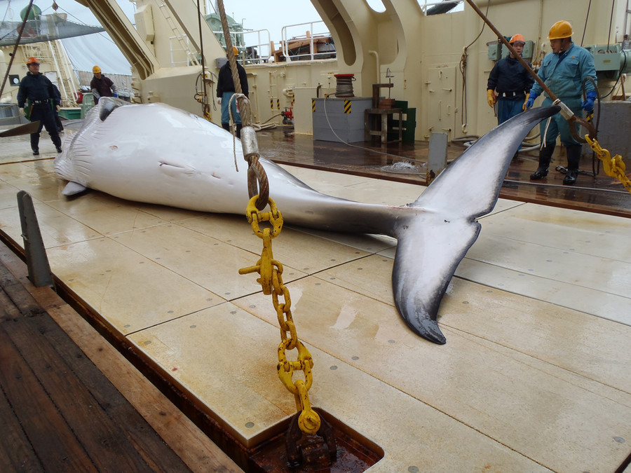 122 pregnant whales among the 300+ killed by Japan for 'science'