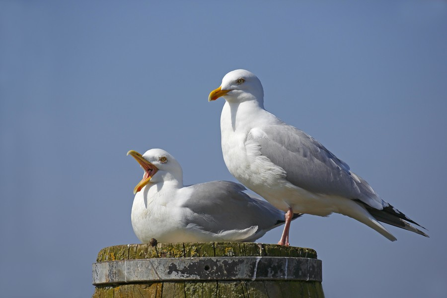 Is Russia to blame for seagulls getting high on flying ant acid? You decide