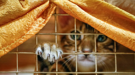 A Bengal kitten looks on inside a cage during a local cat exhibition in Almaty, Kazakhstan April 21, 2018. © Shamil Zhumatov