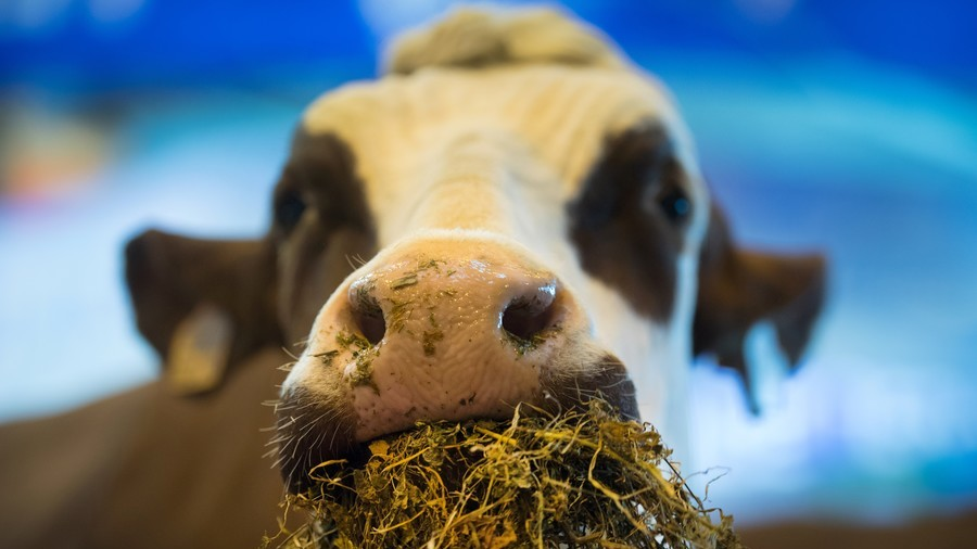 Sentenced to death for crossing the EU border, Penka the cow shall live
