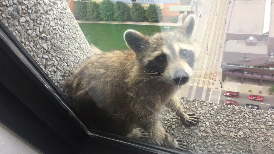 Fearless raccoon scales 25-storey building in Minnesota, capturing hearts & Twitter handles