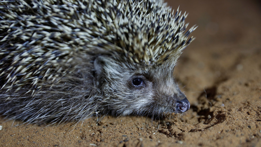 Hangover hedgehog-style: German police rescue two creatures who overdid it on egg liqueur