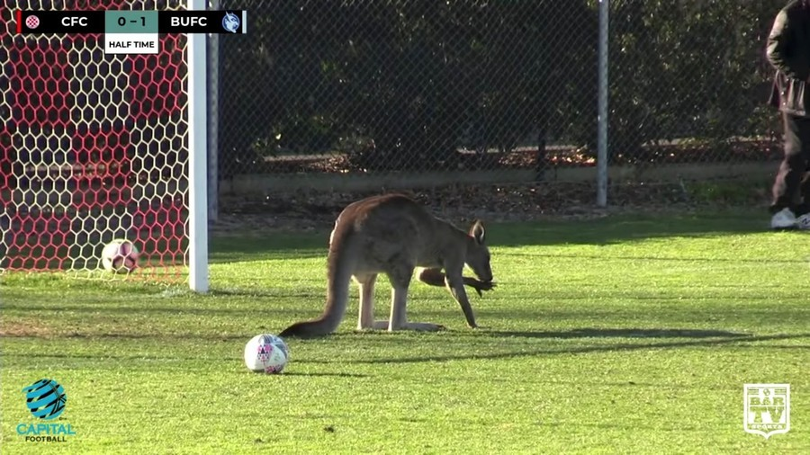 Kangaroo hops onto the field during soccer game