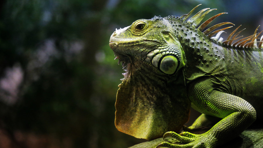 'Fighting or sexing?' Face-chewing iguana encounter baffles Starbucks customers (VIDEO)