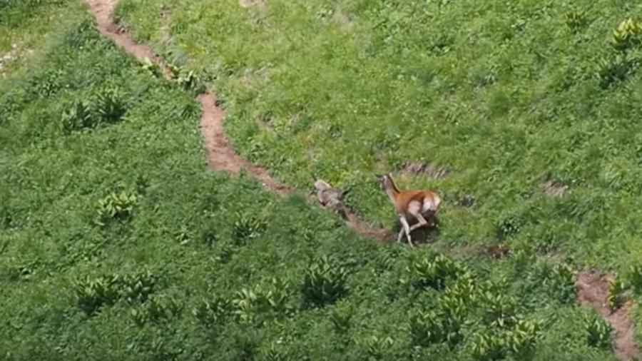 Wolf v deer: Astounding moment wild carnivore chased away by heroic mom (VIDEO)
