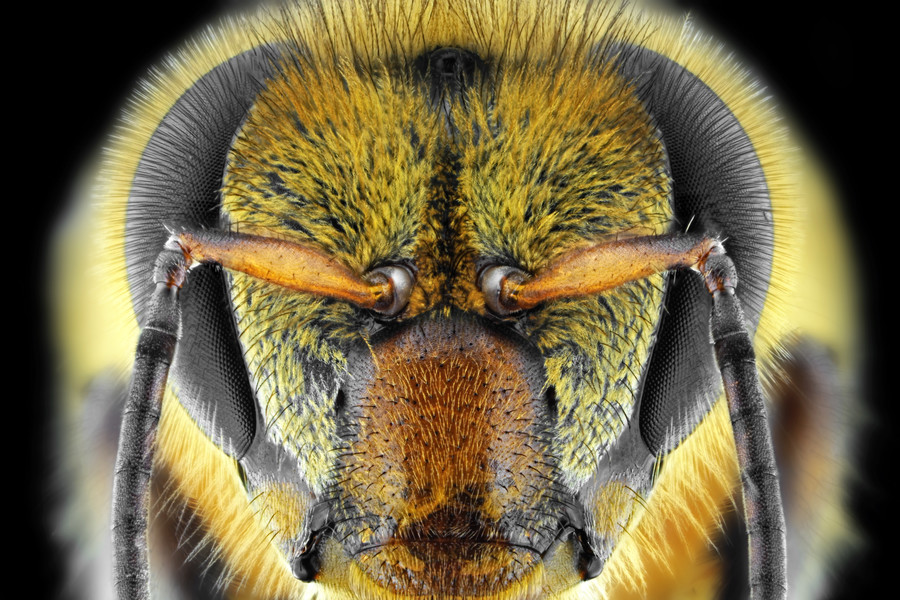 Bad to the brain: Scientists learn what makes killer bees so aggressive