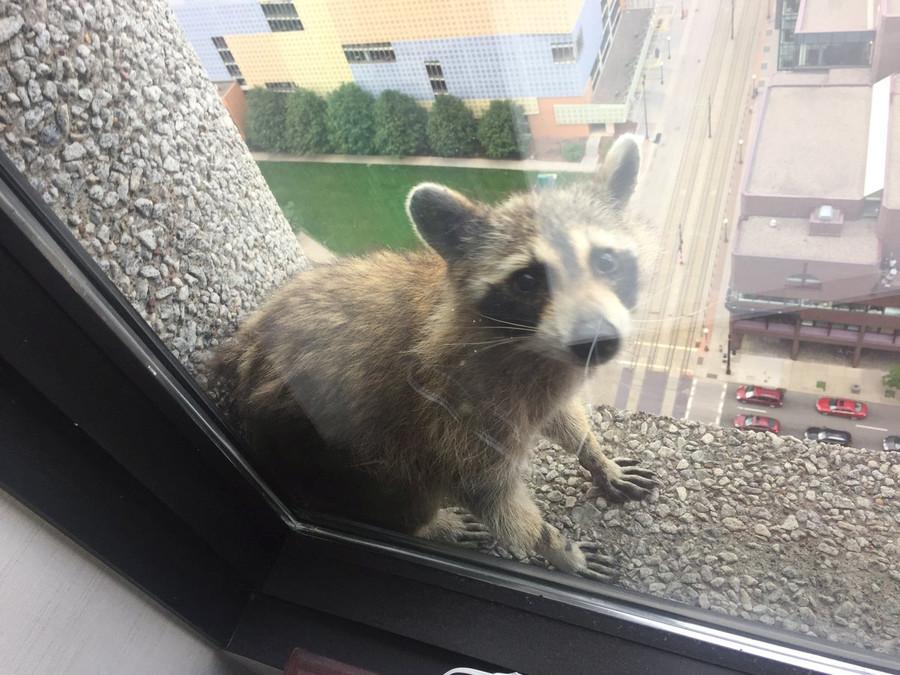 Fearless raccoon scales 25-storey building in Minnesota, capturing hearts & Twitter handles