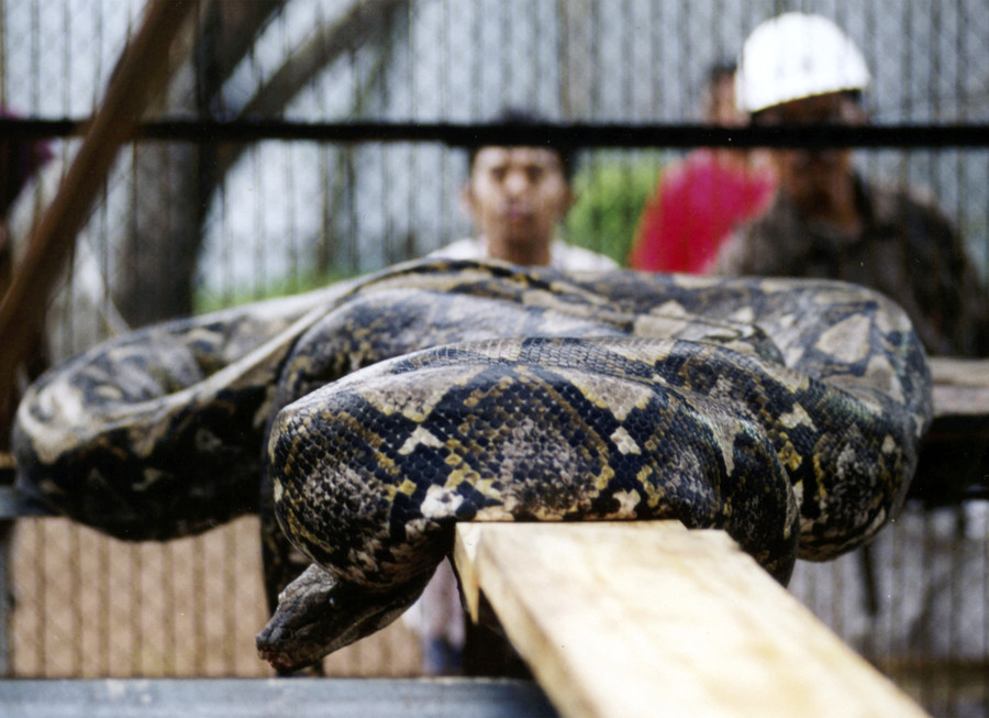 Woman cut from belly of giant python after she was eaten alive (GRAPHIC VIDEO)