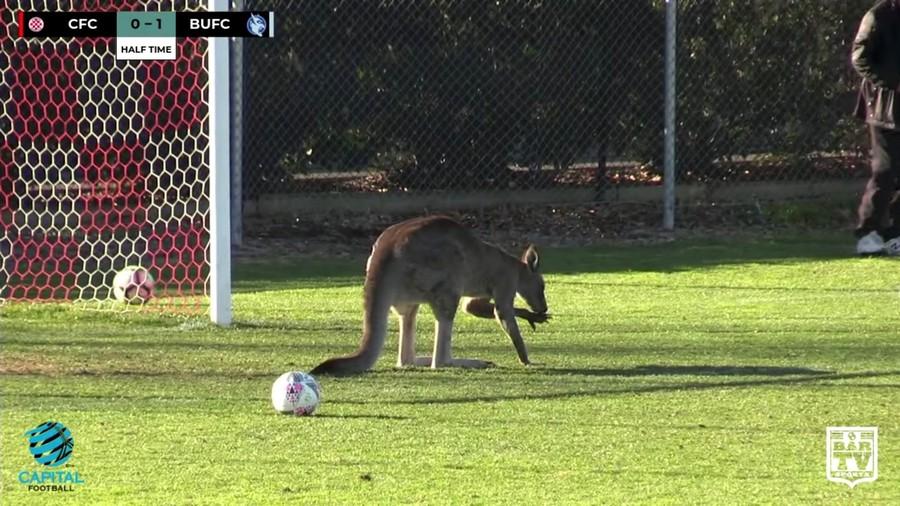 Pitch-invading kangaroo stops Aussie soccer match (VIDEO)