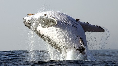 'Amazing footage': Humpback whale bounds into air soaking gobsmacked tourists (VIDEO)