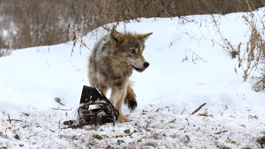 Chernobyl wolves could spread gene mutations outside radioactive exclusion zone