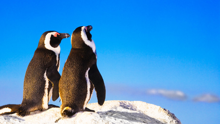 Love birds: Two penguins take a romantic stroll on the beach hand-in-hand (VIDEO)