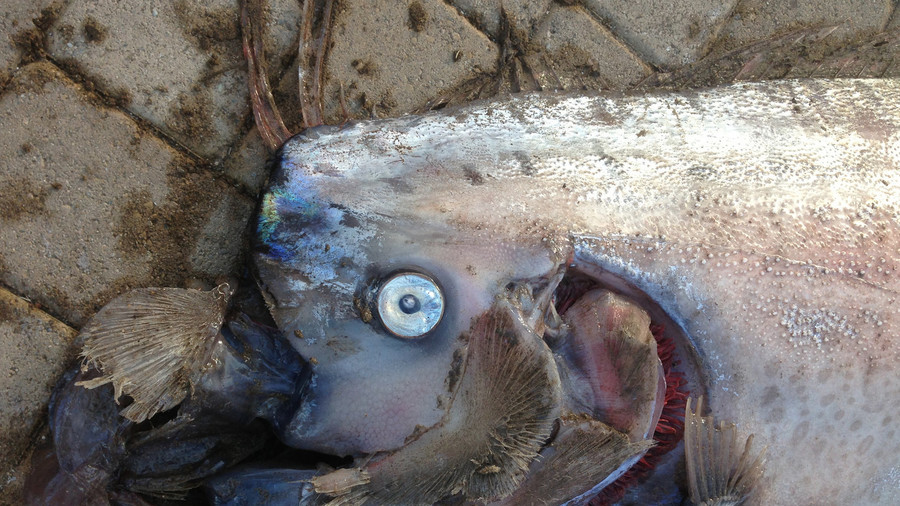 Deep-sea monster? Fishermen catch 16ft long fish off Chile coast (VIDEO, PHOTO)