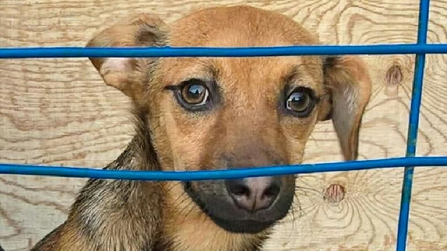 Help! Bring my saved Russian puppy to me if you are travelling to Peru, pleads World Cup fan