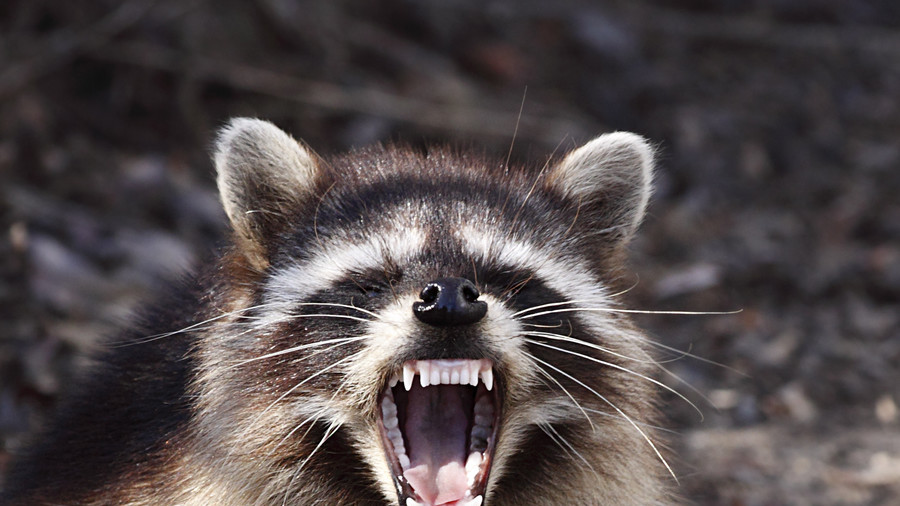 Nyc Nails Cause Of Zombie Racoon Annihilation In Central Park Rt