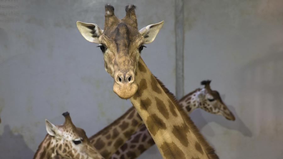 April, 'the Kardashian of giraffes', is pregnant AGAIN