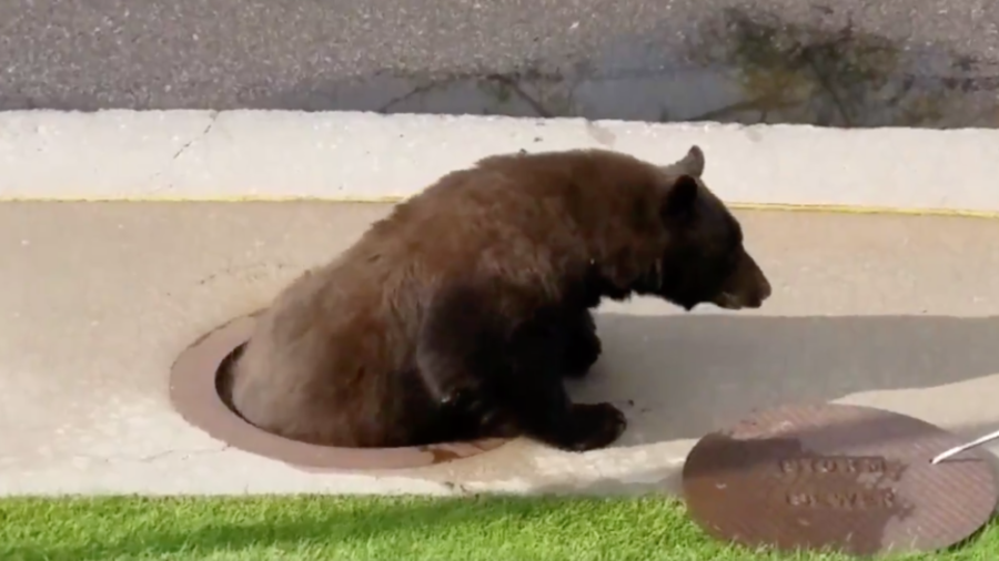 A craving for berries gets bear stuck in a storm drain, prompting rescue via manhole (VIDEOS)