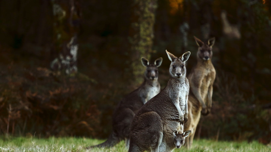 1,000 kangaroos stampede across 'destroyed' Australian paddock (VIDEO)