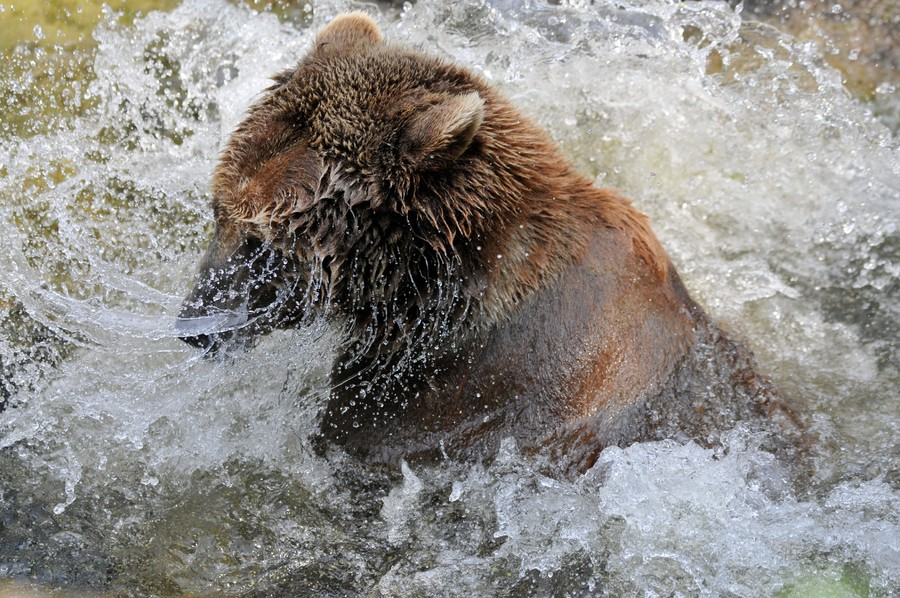 Bear crashes California hot tub, sips margarita, naps (VIDEO)