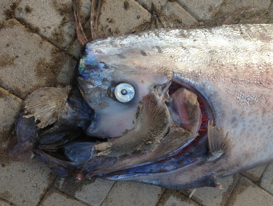 Deep-sea monster? Fishermen catch 16ft long fish off Chile coast (VIDEO, PHOTO)