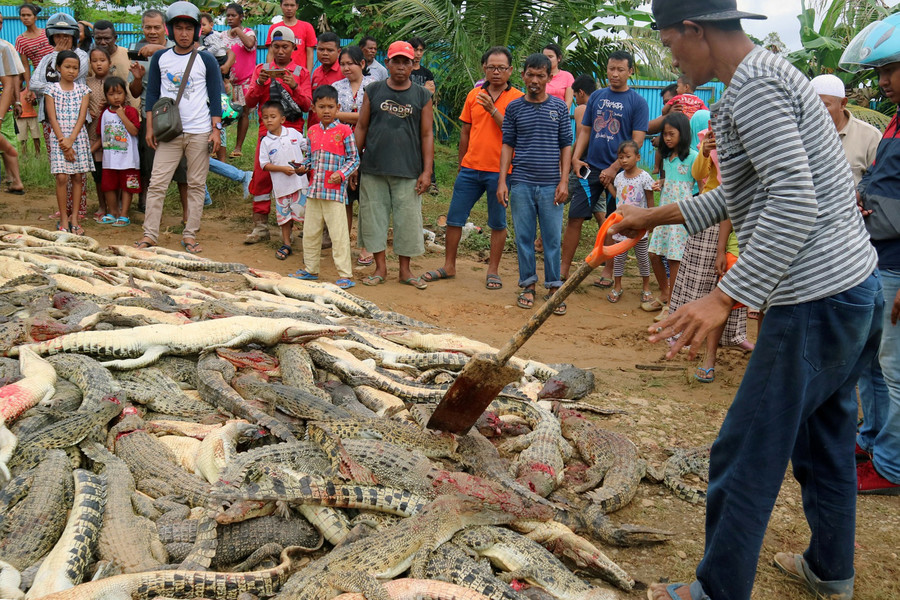 'Horrid to see': Indonesian mob kills 300 crocodiles in revenge attack (PHOTOS)