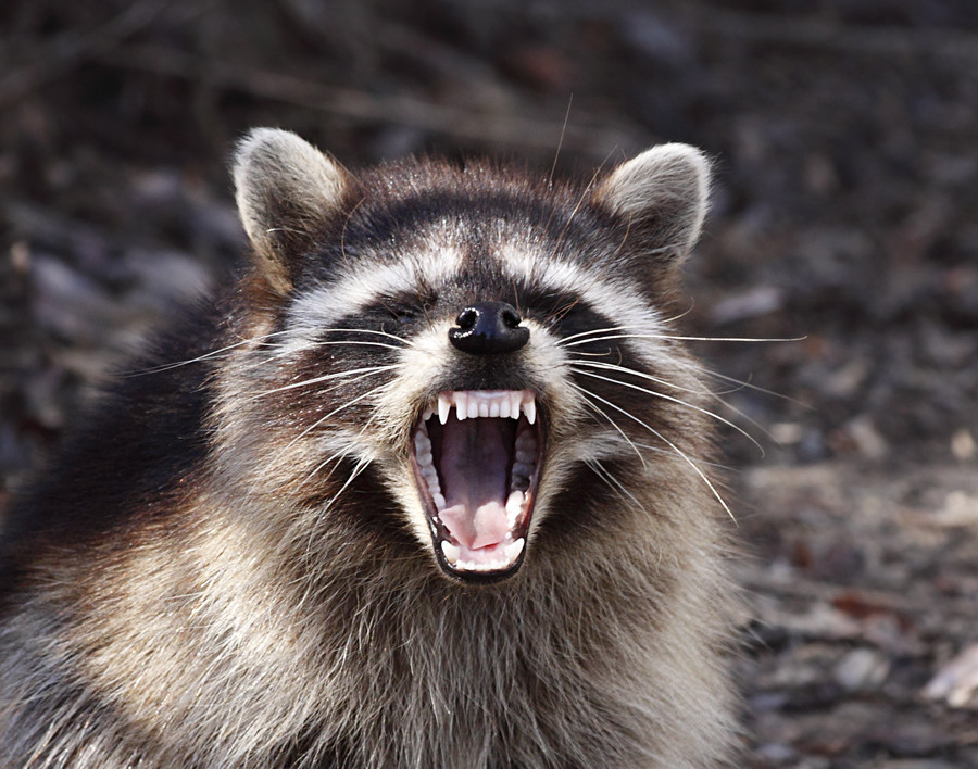 NYC nails cause of 'zombie racoon' annihilation in Central Park