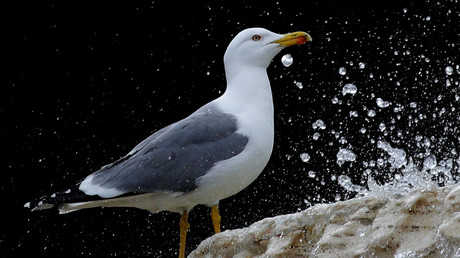 Soused sea birds? Charity blames breweries for turning seagulls into boozehounds