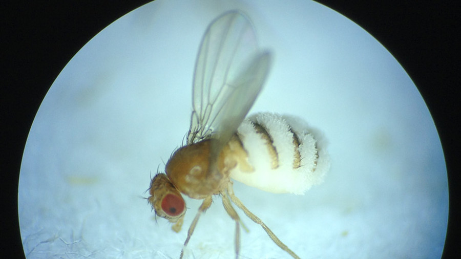 'Invasion of the body snatchers': Mind-control fungus shows flies a gruesome end