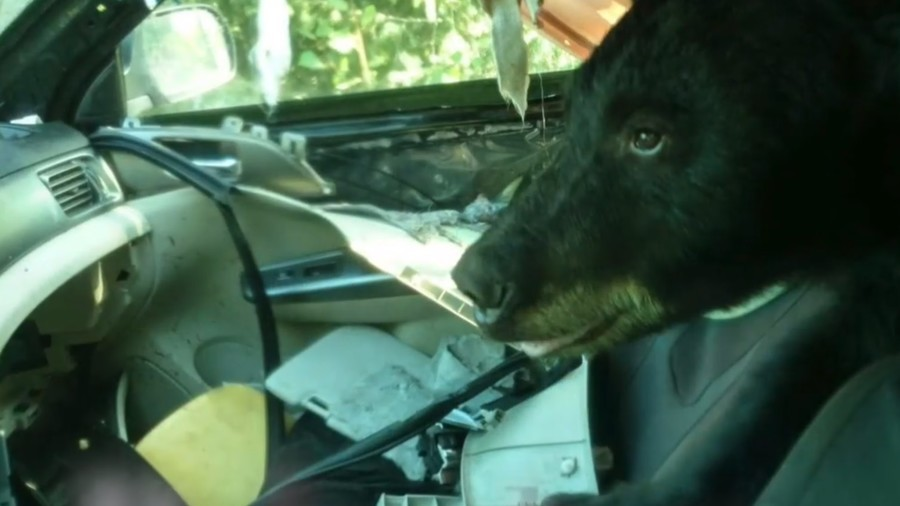 Gum, Mints, Wrappers, Soda Attract Bears To Unlocked Vehicles