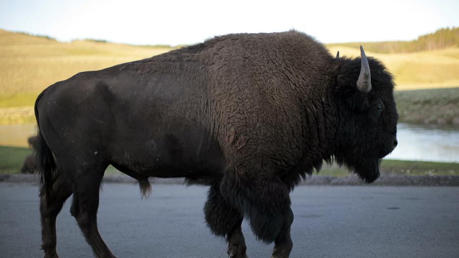 Man filmed harassing bison arrested after 4th national park incident in 7 days (VIDEO)