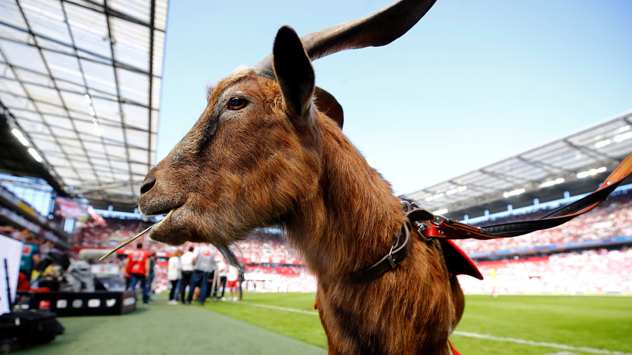 official photos 7137b 05d58 Turkish football team sells 18 players to buy 10 goats in bizarre revenue  generator