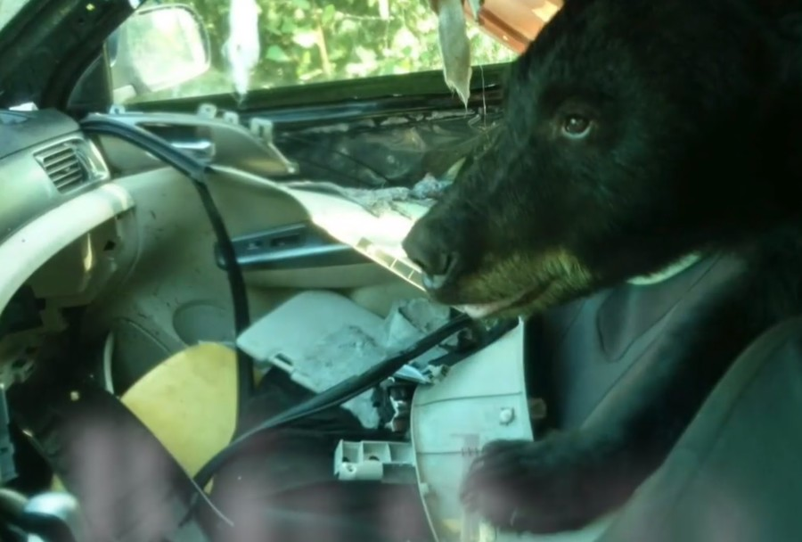 Bear rips car to shreds after becoming trapped inside (VIDEO)