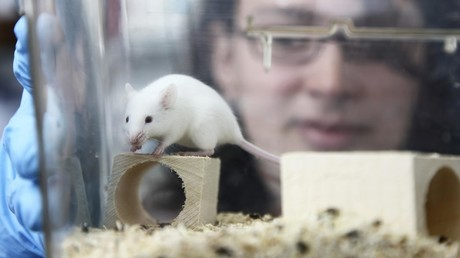 Rat hepatitis jumps to second human in Hong Kong, panic feared