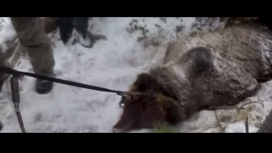 Outrage after Russian governor filmed shooting hibernating bear in the head (VIDEO)
