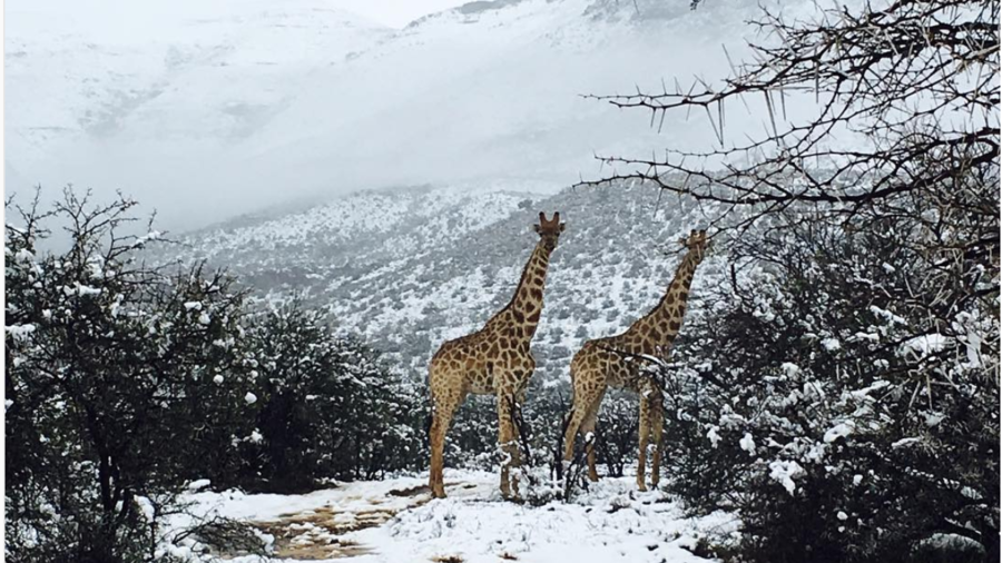Elephants & giraffes caught in snow as South African spring takes unusual turn (PHOTOS, VIDEOS)