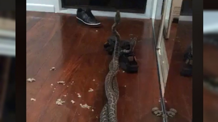'Naughty snakes!' Pythons fighting over female fall through ceiling of Australian home (VIDEO)