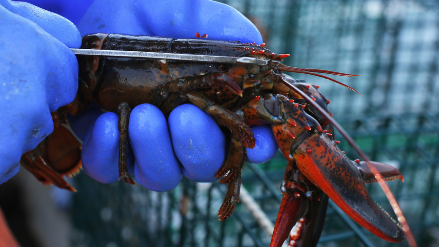 Lobster pot: Restaurant gets shellfish high on marijuana prior to cooking