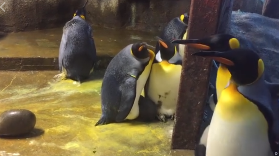 Gay penguin couple snatch chick from parents at Denmark zoo (VIDEO)