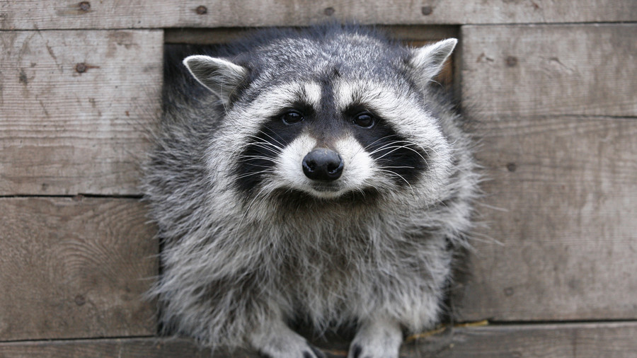 'Pied Piper of New York' charms his merry band of… raccoons (VIDEO)