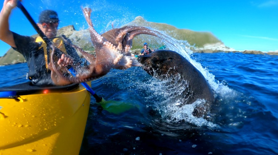 Seal slaps kayaker across the face with live octopus (VIDEO)